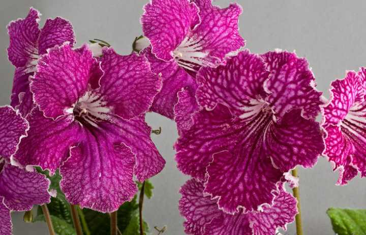 Прекрасные цветки растут огромными и пёстрыми величиной до тридцати сантиметров.