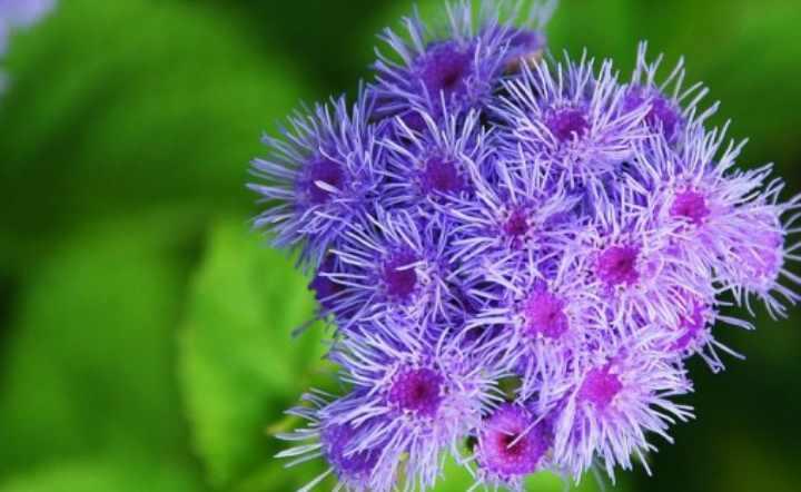 Соцветия светло-голубого окраса