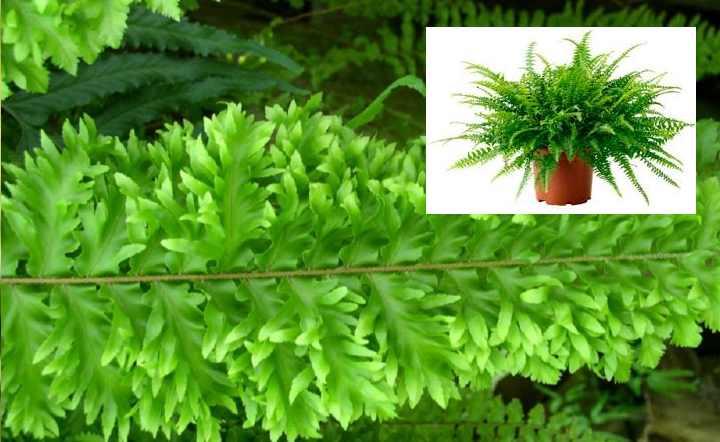 Одна из самых красивых разновидностей, что обусловлено богатым пучком листьев с острыми верхушками, легкой кудрявостью сегментов и ампельной формой самого растения.
