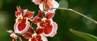 Орхидея онцидиум (Oncidium) один из самых обильноцветущих представителей