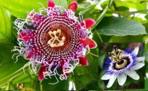 Цветы пазушные, одиночные или собранные в небольшие соцветия
