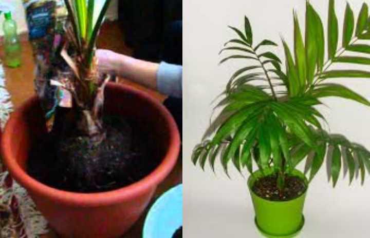 Для взрослых пальм требуется замена лишь верхушки почвенного слоя