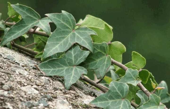 Плющ садовый: виды, фото, посадка и уход
