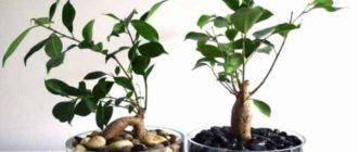 Фикус – растение, пользующееся широкой известностью во все времена