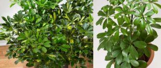 2 фото растения