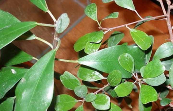 Отлично поддается черенкованию, конфигурированию листвы. Не терпелив к засушью.