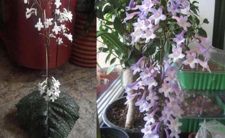 Streptocarpus wendlandii