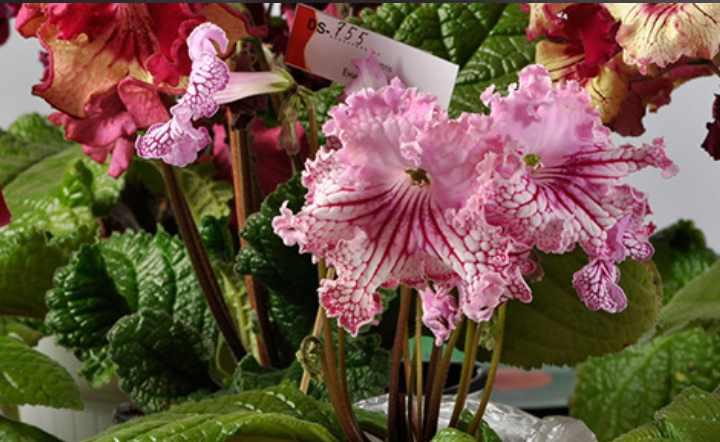 Растение стрептокарпус розеточное и имеет низкий стебель