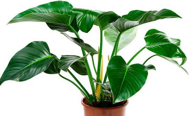 Филодендрон можно узнать по большим резным листьям