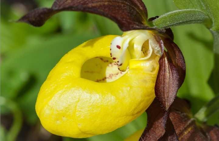 Пафиопедилуммикрантум(Paphiopedilum)