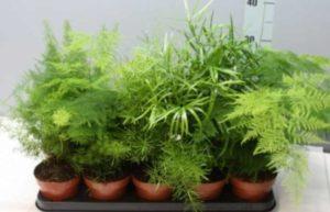 Отличительная черта – у основной доли видов биосинтез идет не в лиственной части
