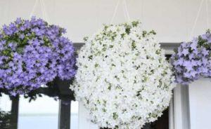 Цветок Невеста богатая или Кампанула