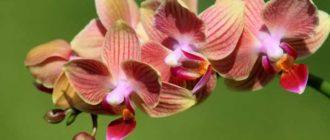 Окрас цветков раскинулся от белёсой до пурпурной и чёрной