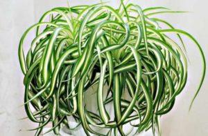 Листья этого растения похожи на травинки