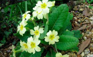 Примула – нежнейшая цветущая культура из семейства Первоцветные
