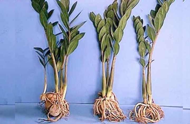 Если нужно пересадить растение, которое имеет заболевание
