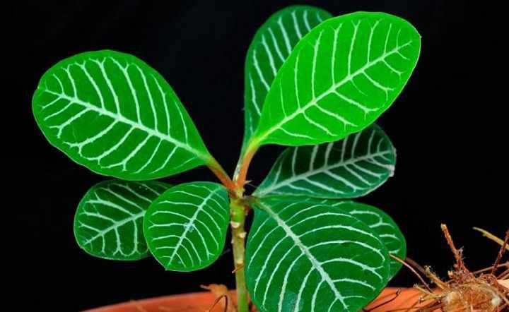 Молочай беложилковый – идеальное растение для начинающего цветовода