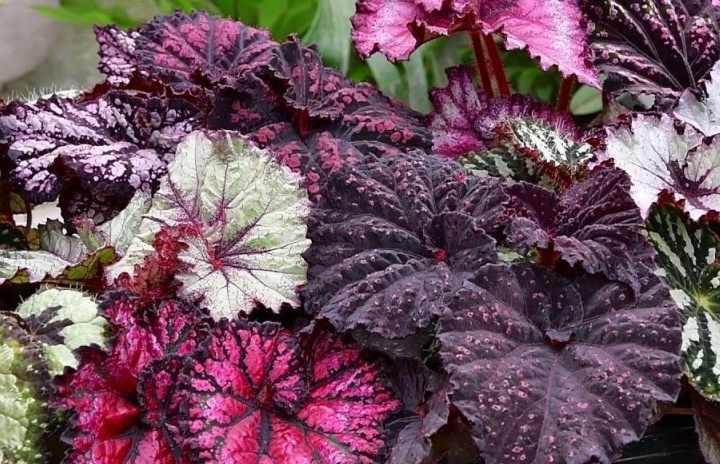 СОВЕТ.Удаляйтецветы у бегонии, чтобы поддержать насыщенность цвета у листа.