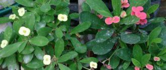 красивое домашнее растение-суккулент