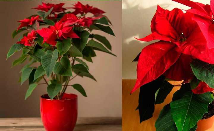 Как пересадить домашний цветок рождественская звезда