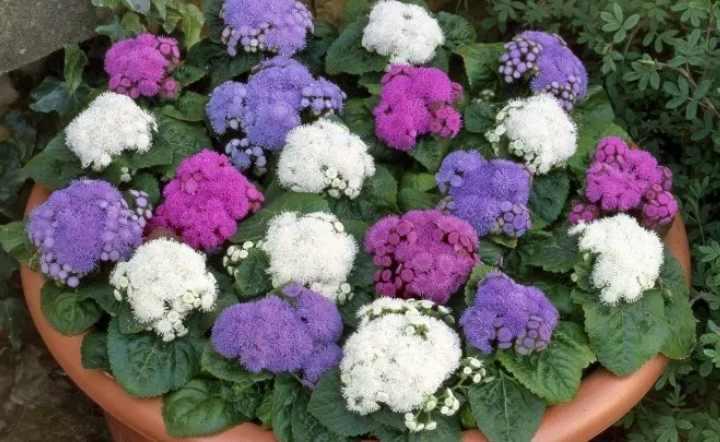 Обрезка и стрижка цветка способны продлить цветение