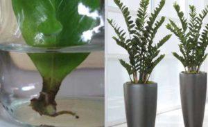 Внешним видом Замиокулькас напоминает очень редкий цветок – Замию