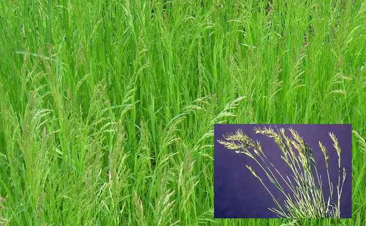Мятлик луговой — идеальное решение для газона