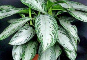 Аглаонема растение домашнее