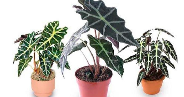 Это большой род растений, объединяющий около 70 видов