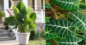растение, родиной которого является Юго-Восточная Азия