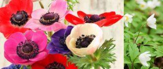 Особенность растения – чуть колышется воздух, и лепестки культуры отвечают в унисон