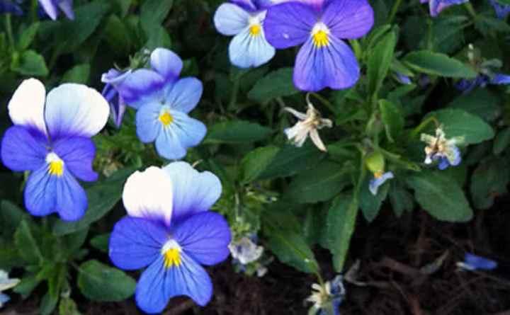 Стебли у кустика плетутся по низу, цветет нежно-голубым окрасом.