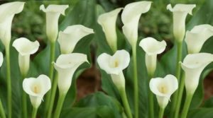 Изящные белые цветы