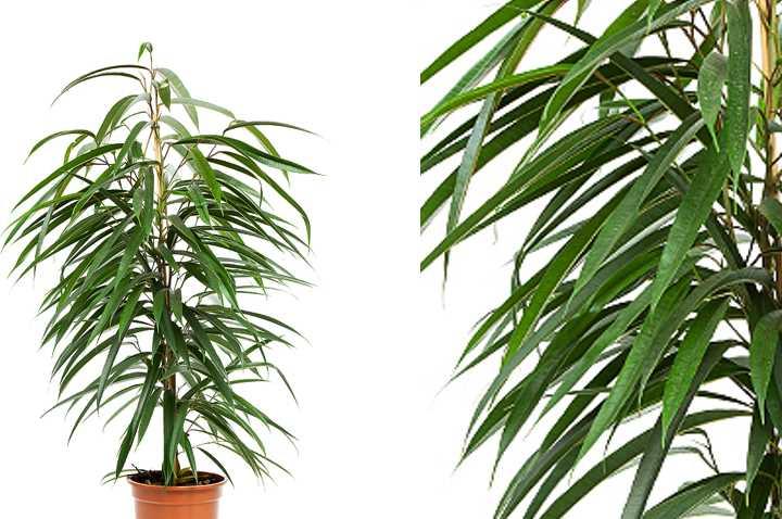 Остролистное растение, одноцветной салатовой окраски