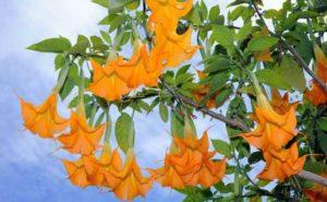 Бругмансия.Выращивание и размножение бругмансии в открытом грунте и в домашних условиях