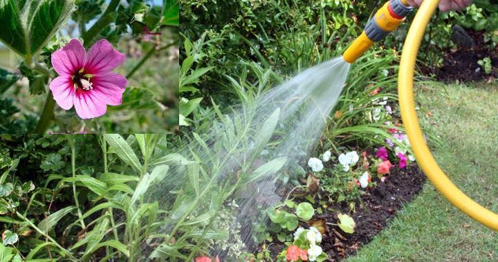 дренаж, растение не любит застой воды