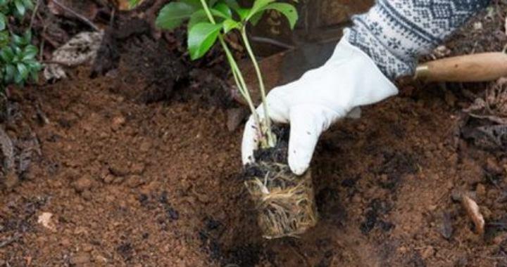 Делению подвергаются только взрослые растения