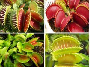 это хищное насекомоядное растение