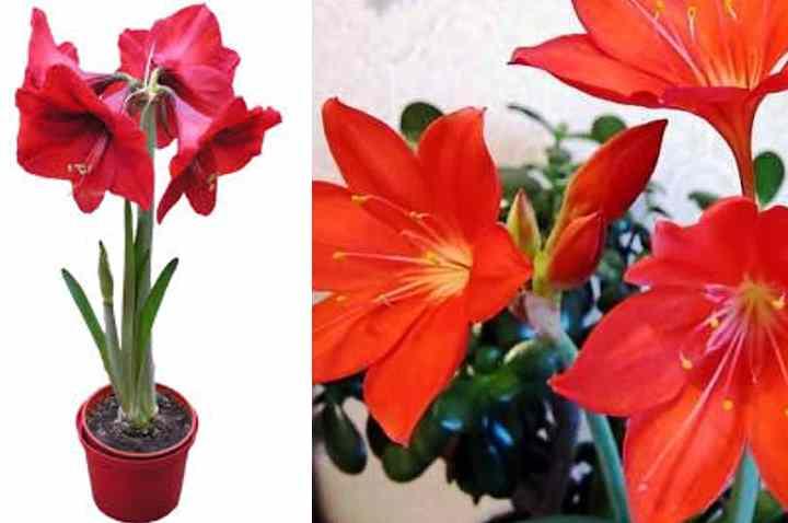 Расцветка встречается самая разнообразная от чисто-белой до оранжевой, розовой, с вкраплениями или без них.