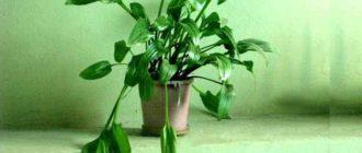 Во всем мире насчитывается 22 вида растения