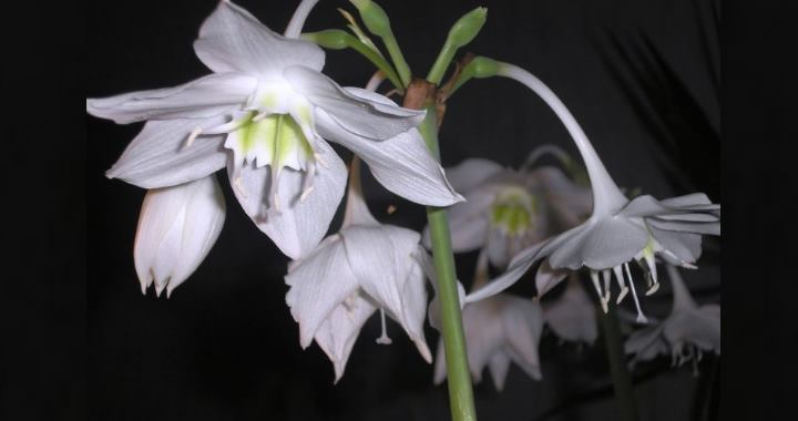 Eucharis subedentata