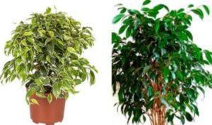 растение рода Фикус семейства Тутовые