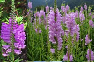 Ботаники насчитывают до 12 видов физостегии