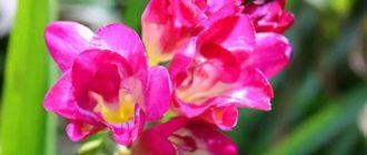 Второе название растения – капский ландыш