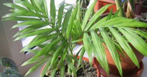 Бамбуковая пальма или Chamaedorea