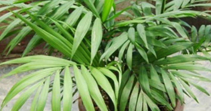 самый распространенный сорт растения