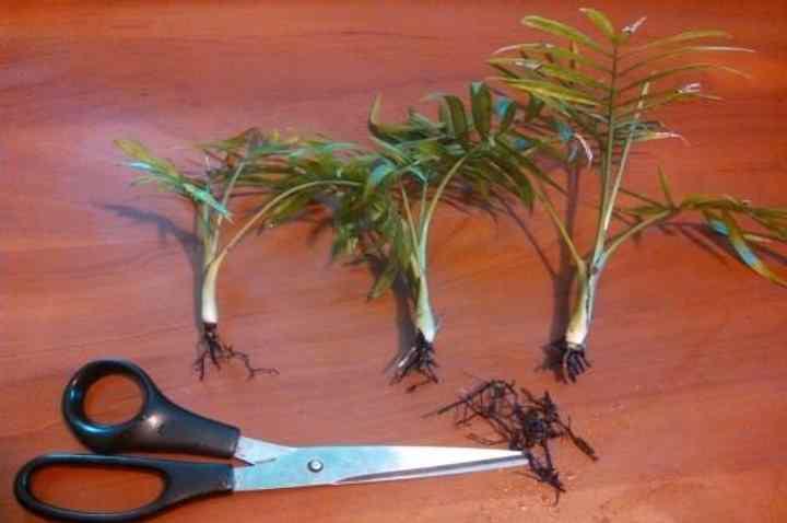Корневыми отростками пальму размножают возможно чаще, чем семенами, поскольку сделать это можно быстрее.