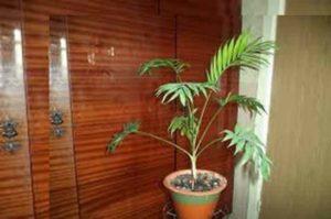 Относится к декоративным пальмам