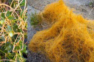 Повилика (от лат. Cuscuta) – это паразитическое сорное растение