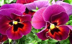 Как выглядит цветок виола, подходящие условия для выращивания и размножения.
